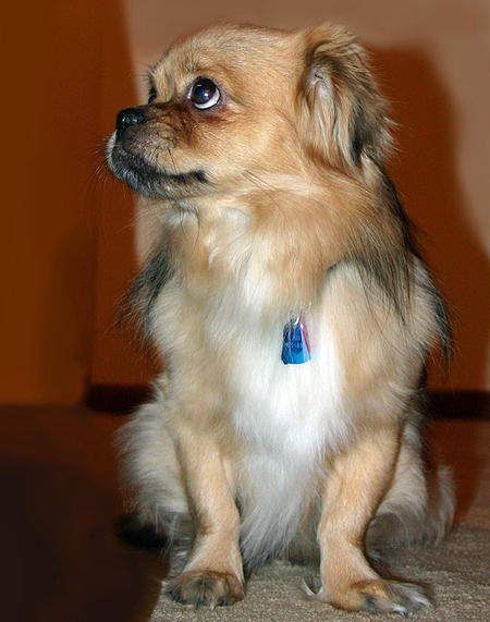Tory the Tibetan Spaniel Pictures 737319