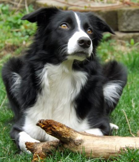 Trigger the Border Collie Pictures 894890