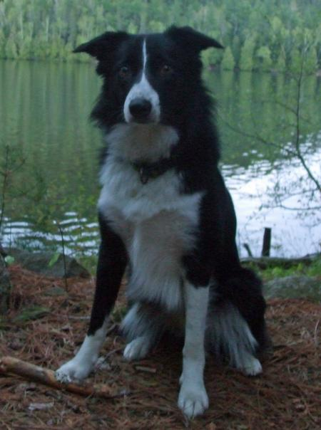 Trigger the Border Collie Pictures 894892