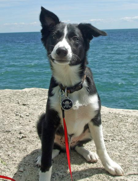 Trigger the Border Collie Pictures 894893