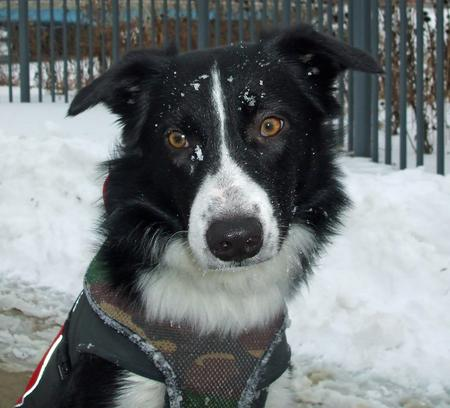 Trigger the Border Collie Pictures 894894