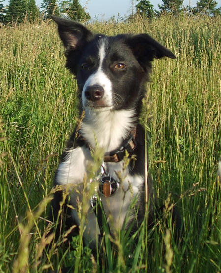 Trigger the Border Collie Pictures 894895