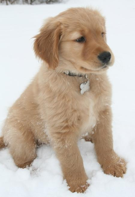 Trigger the Golden Retriever  Pictures 554034