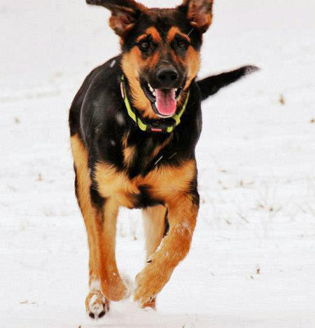 Trip the German Shepherd Mix Pictures 952874
