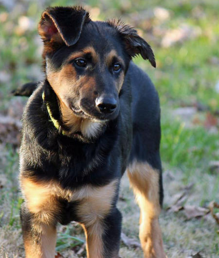 Trip the German Shepherd Mix Pictures 952877