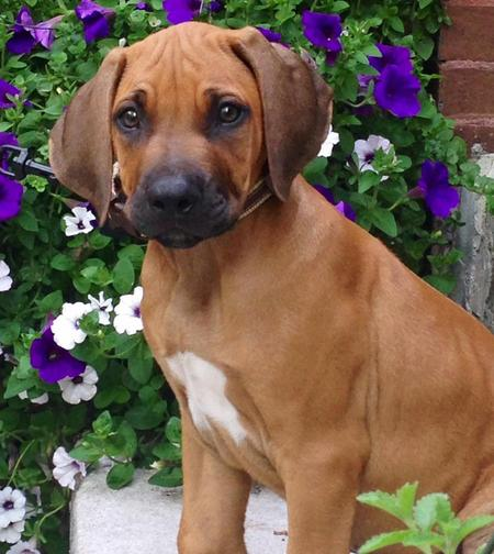 Tripp the Rhodesian Ridgeback Pictures 1018648