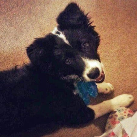 Trixie the Border Collie Pictures 978064
