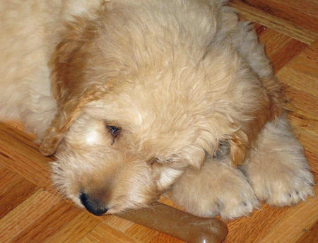 Trixie the Goldendoodle Pictures 1055925