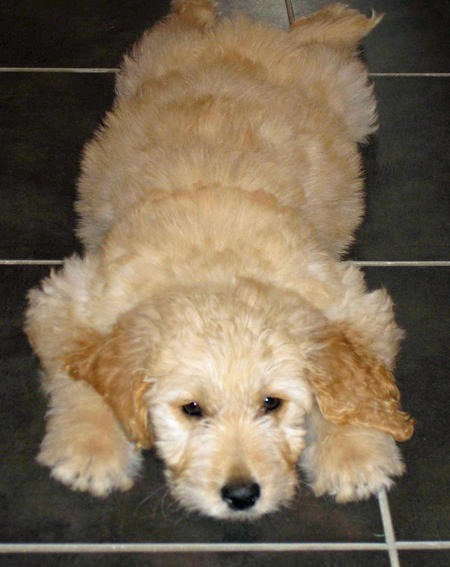 Trixie the Goldendoodle Pictures 1055926