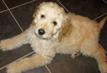 Trixie the Goldendoodle Pictures 1055927