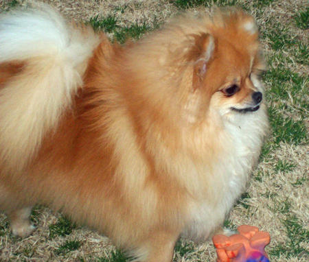 Trixie the Pomeranian Pictures 575399