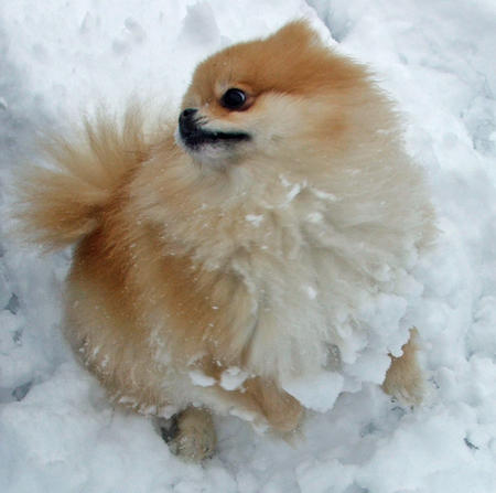Trixie the Pomeranian Pictures 575402