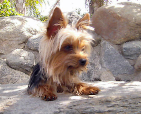 Trixie the Yorkshire Terrier Pictures 896190