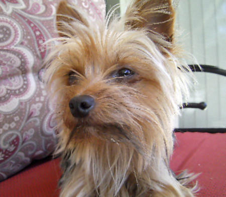 Trixie the Yorkshire Terrier Pictures 896191