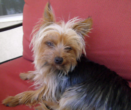 Trixie the Yorkshire Terrier Pictures 896192