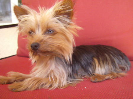 Trixie the Yorkshire Terrier Pictures 896199