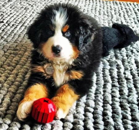 Trooper the Bernese Mountain Dog Pictures 977155