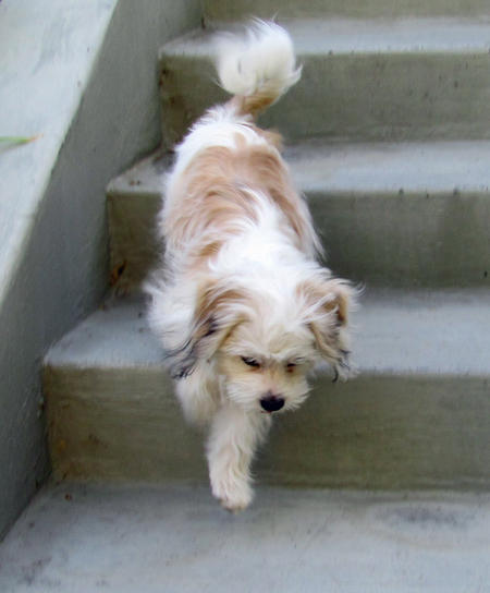 Trooper the Maltese Mix Pictures 929728