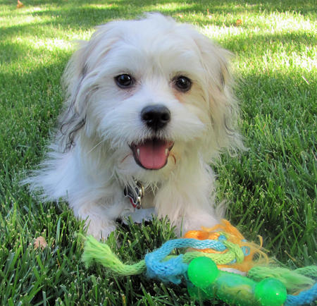 Trooper the Maltese Mix Pictures 929730