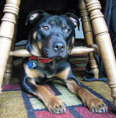 Trooper the Rottweiler Mix Pictures 992070