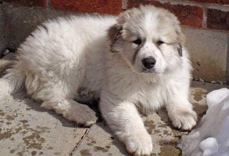 Troy the Great Pyrenees Pictures 663403