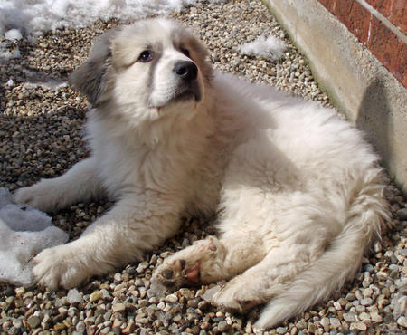 Troy the Great Pyrenees Pictures 663405