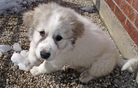 Troy the Great Pyrenees Pictures 663406