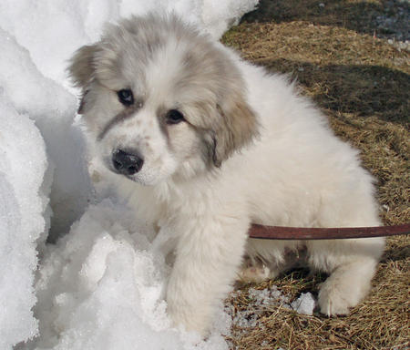 Troy the Great Pyrenees Pictures 663407