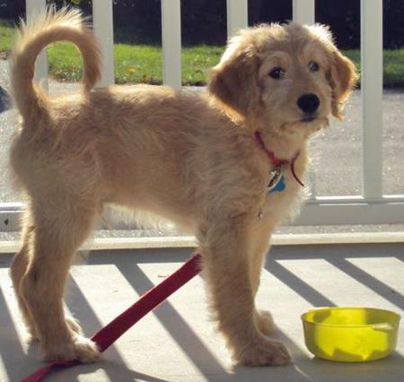 Truman the Goldendoodle Pictures 672652