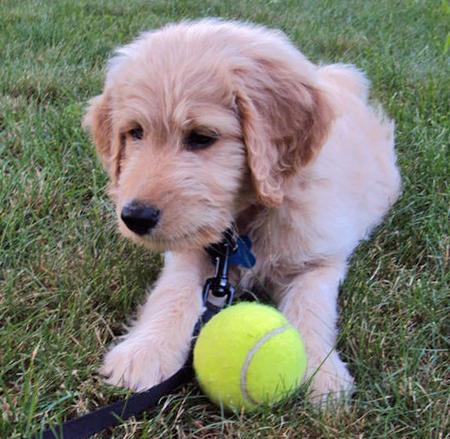 Truman the Goldendoodle Pictures 672656