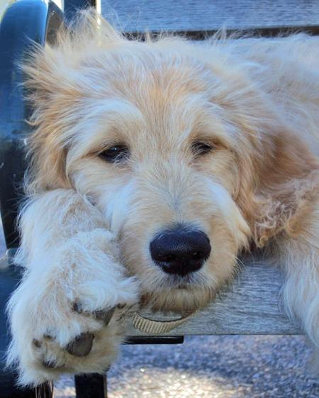 Truman the Goldendoodle Pictures 672657