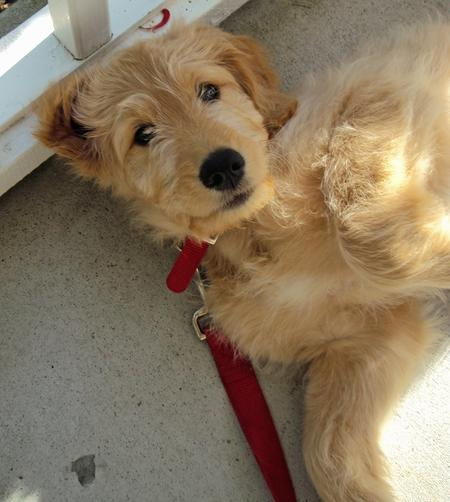 Truman the Goldendoodle Pictures 672651