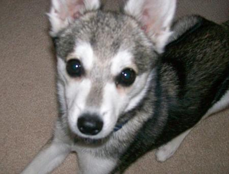 Tucker the Alaskan Klee Kai Pictures 953255