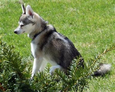 Tucker the Alaskan Klee Kai Pictures 953253