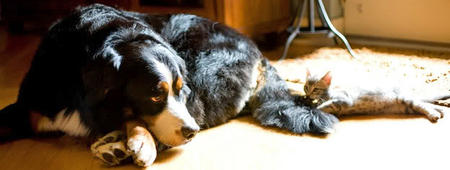 Tucker the Bernese Mountain Dog Pictures 422163