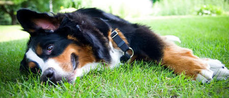Tucker the Bernese Mountain Dog Pictures 422165