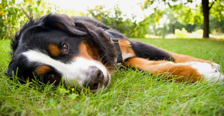 Tucker the Bernese Mountain Dog Pictures 422166