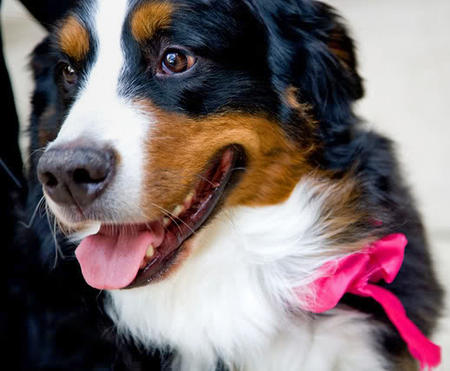 Tucker the Bernese Mountain Dog Pictures 422167