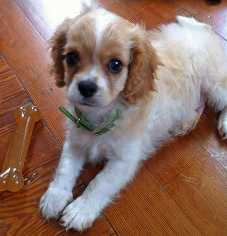 Tucker the Cavalier King Charles Spaniel Pictures 992377