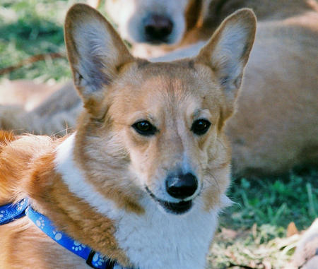 Tucker the Corgi Pictures 472033