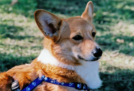 Tucker the Corgi Pictures 472034