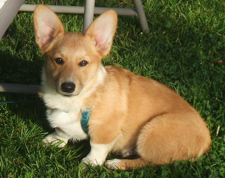 Tucker the Corgi Pictures 472038