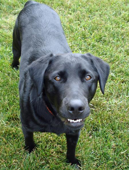Tucker the Labrador Retriever Pictures 1056440