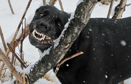 Tucker the Labrador Retriever Pictures 1056442