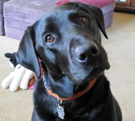 Tucker the Labrador Retriever Pictures 1056443