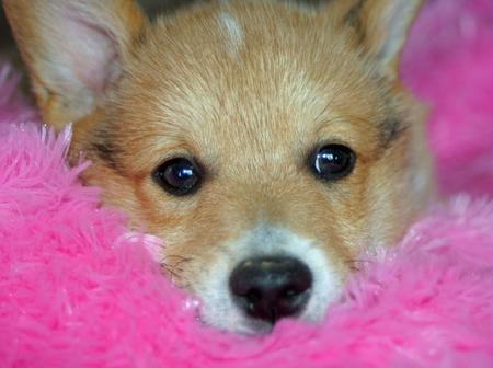 Tucker the Pembroke Welsh Corgi Pictures 674452