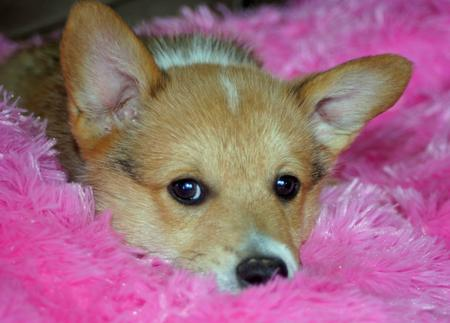 Tucker the Pembroke Welsh Corgi Pictures 674454