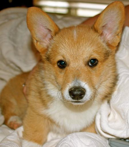 Tucker the Pembroke Welsh Corgi Pictures 674451