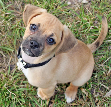 Tucker the Puggle Pictures 767762