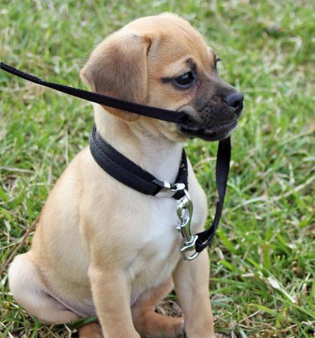 Tucker the Puggle Pictures 767763